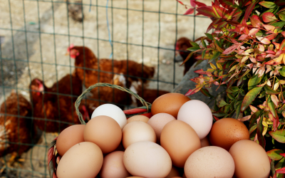 Le nostre uova freschissime